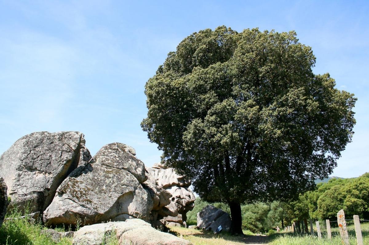 La encina o Quercus ilex es un árbol perennifolio