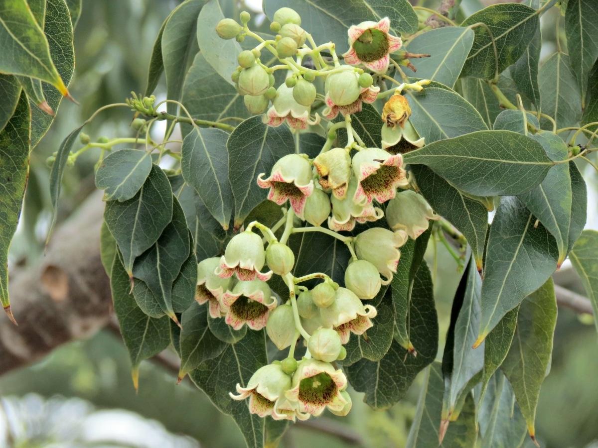 El brachychiton populneus florece en primavera