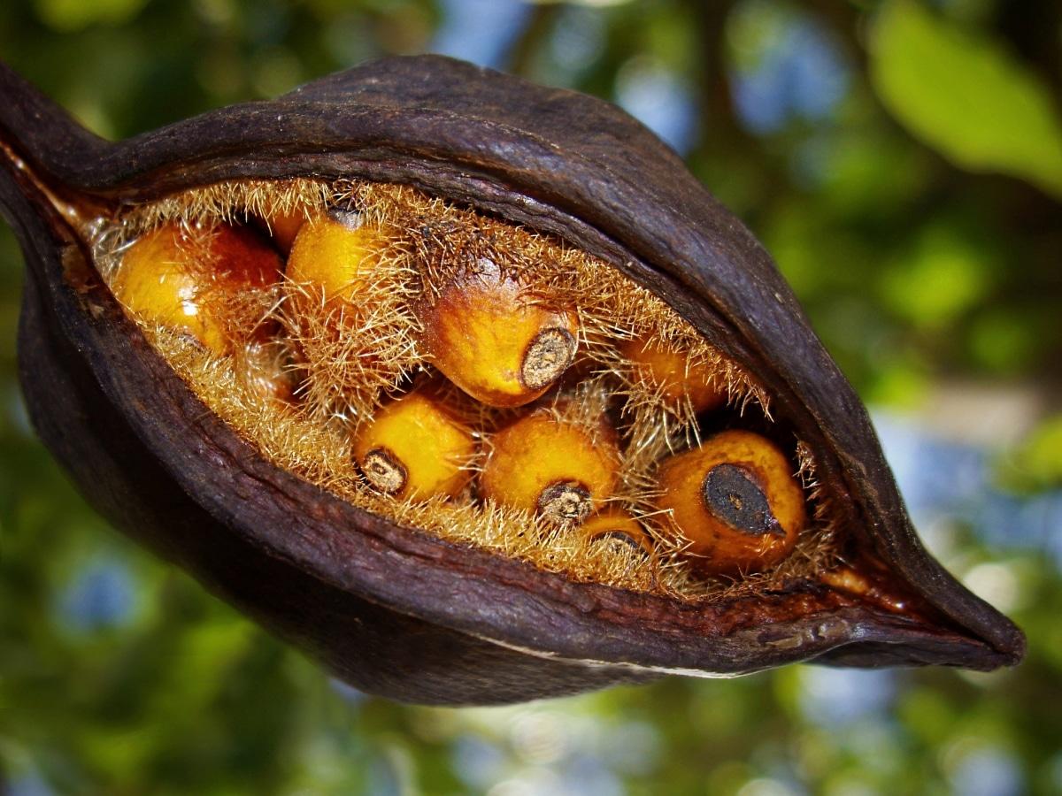 Los frutos del Brachychiton populneus son cápsulas