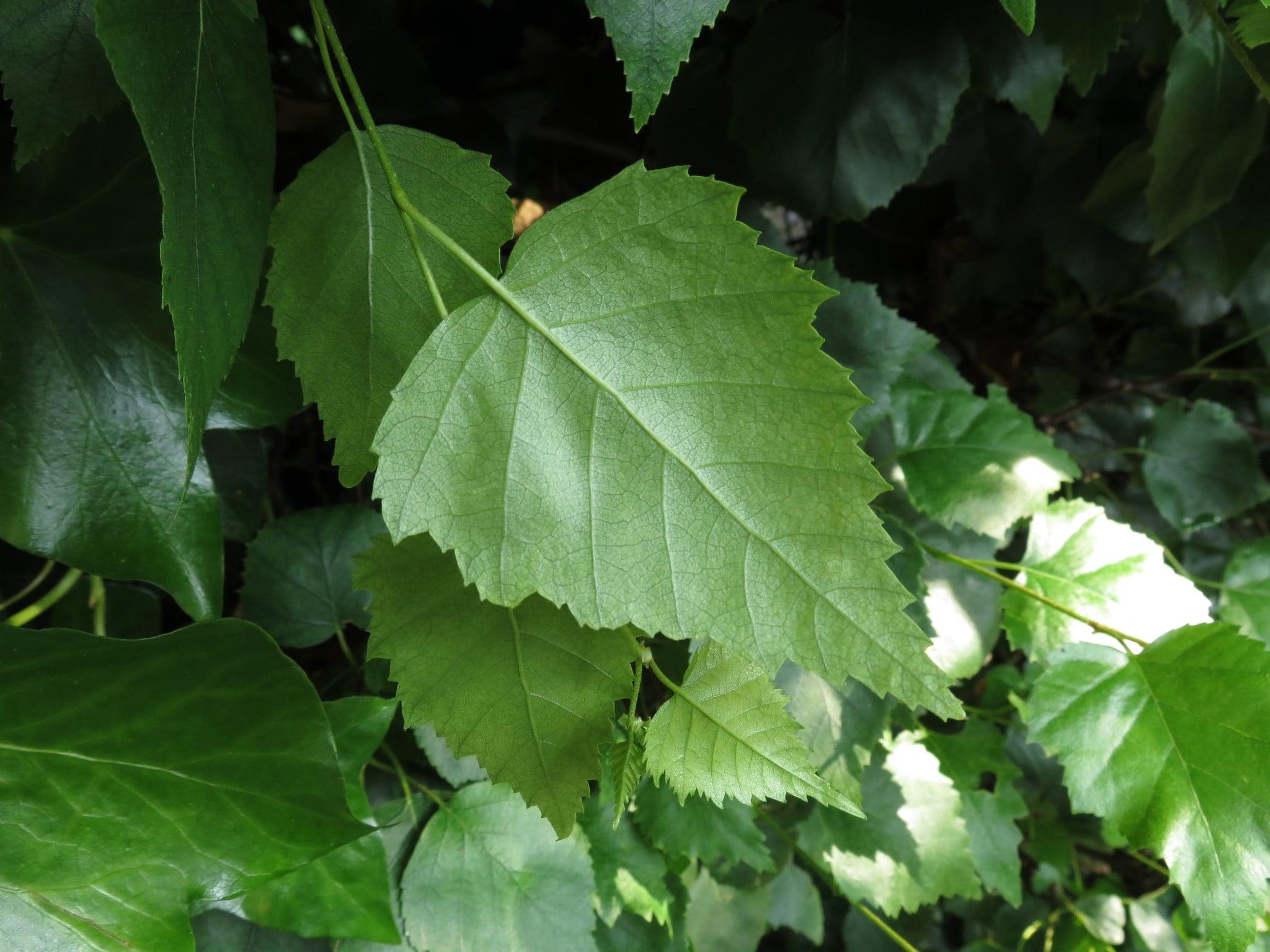 Las hojas de abedul son simples