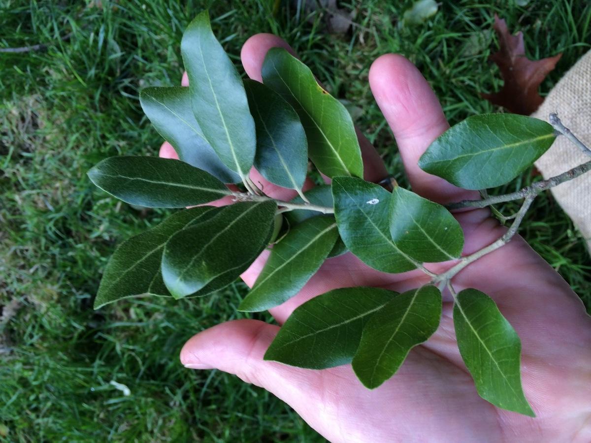 Las hojas de la encina son coriáceas