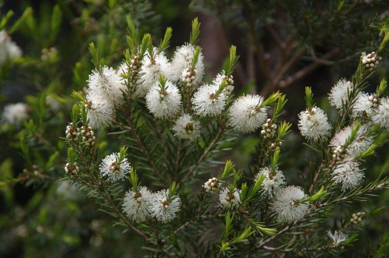 El árbol de té es una planta de hoja perenne