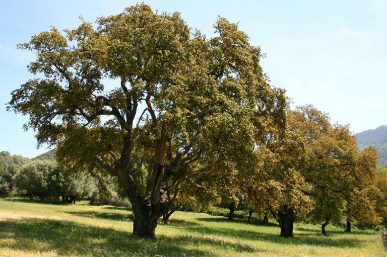 El Quercus suber es un árbol perenne